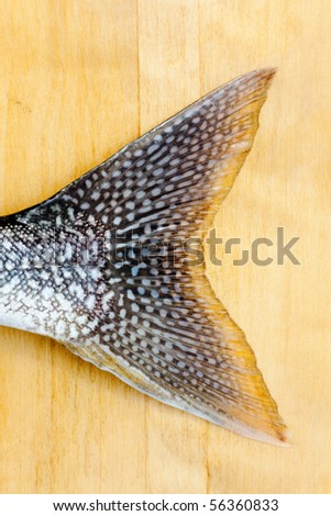 Tail fin of freshly caught Lake Trout (Salvelinus namaycush) on neutral background