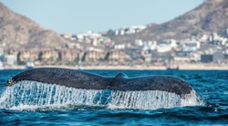 Tail fin of the mighty humpback whale (Megaptera novaeangliae). Blue ocean background.