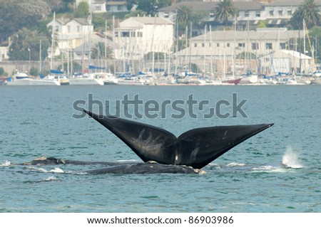Tail Fin Southern Right Whale