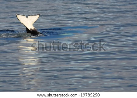 tail flip of orca whale in calm alaskan waters