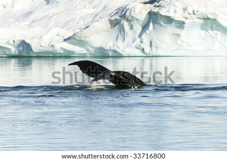 Tail of a humpback whale (Megaptera novaeangiae) in the high arctic