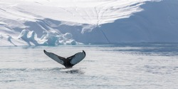 Tail of humpback whale in icy water with white glacier and icebergs in the background Greenland.