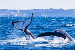 Tail slapping and diving humpback whales. Dual whale tails of humpback whales on the northern migration, Sydney, Australia