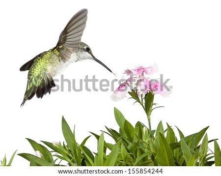 Tail wide-open and feathers glowing in green iridescence, a hummingbird flies over the green leaves of several dianthus flowers into the pink and white petals of three prominent dianthus blooms.