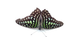 Tailed Jay butterfly on white background, Butterfly isolated on white background.