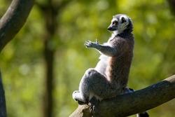 Tailed lemur (Lemur catta) charging energy and meditates