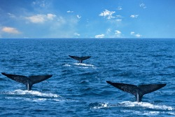 Tails of whales in sea water, Sri Lanka
