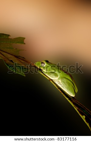 Taipei Green Tree Frog  stay in plant in summer at night