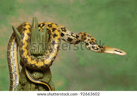 Taiwan Beauty Rat Snake on a green background