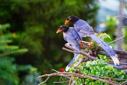 Taiwan Blue Magpie (Urocissa caerulea) is an endemic bird of Taiwan. Social, intelligent, loud, and gregarious, the colorful species has been voted the National Bird of the island nation since 2007.