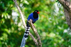 Taiwan Blue Magpie (Urocissa caerulea) is the symbolic endemic bird of Taiwan. Social, intelligent, loud, and gregarious, the colorful bird has been voted the National Bird of Taiwan since 2007.