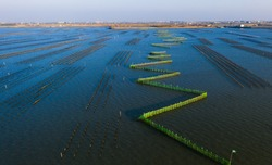 Taiwan specific aquaculture cluture for oyster. Oyster bottom oyster cloister at lagoon in Tainan , Taiwan