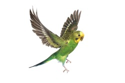 take-off of a parrot on a white background
