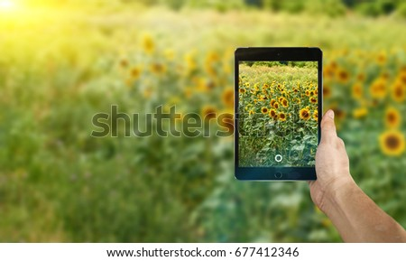 Take photo by smartphone on sunflowers field with blue sky background #677412346