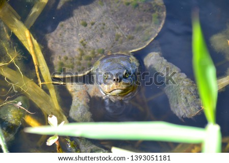 taking a breath, pond turtle,  coming up to breathe #1393051181