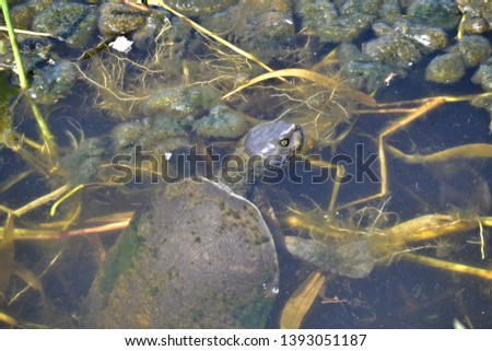 taking a breath, pond turtle, coming up to breathe #1393051187
