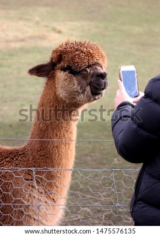 Taking a photo of a young alpaca.