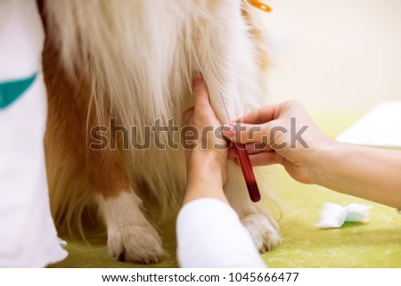 Taking a sample of blood from dog for analysis, sick dog at pet ambulance #1045666477