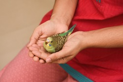 Taking care, feeding pet bird budgie chick with hand or baby love bird in caring human hand pet house Kerala , India . kid taming, playing small birdie, giving food green leafy vegetable for eating.