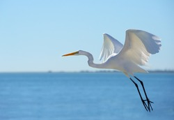 Taking Off A white great egret takes off from a Florida beach.