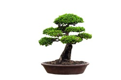 Tako bonsai tree on a white background, beautiful.