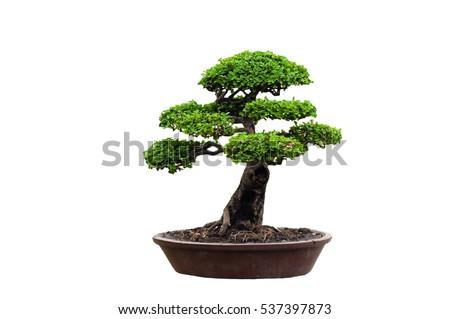 Tako bonsai tree on a white background, beautiful. Сток-фото ©