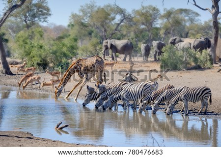 TALAMATI WATERHOLE during a drought. Mixed game gather at a waterhole during a long drought. Kruger National Park, South Africa.