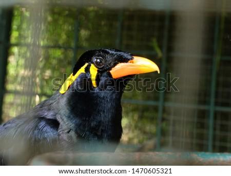 Talking bird or talking black parrot (Beo) #1470605321