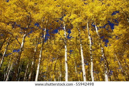 Tall aspen trees reaching for sky in autumn