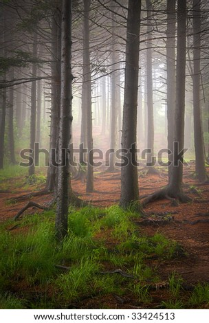 Tall Balsam Trees in Creepy Forest Fog with eerie backlighting in Blue Ridge Mountains
