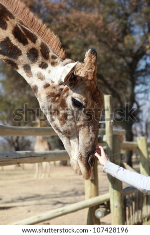 Tall beige orange and brown giraffe neck and head leaning over pole fence getting a tickle or scratch on his nose by a human hand - stock photo