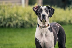 Tall black and white Great Dane staring at camera.