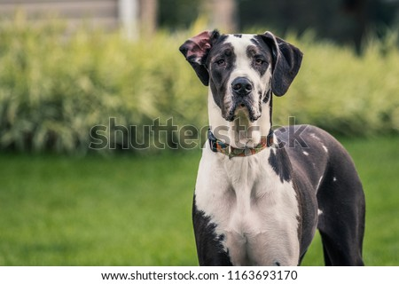 Tall black and white Great Dane staring at camera. Foto stock ©