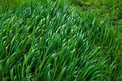 Tall bright lush green grass. Grass texture
