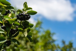 Tall bush of black chokeberry (Aronia melanocarpa). Branch of black chokeberry  with dark purple black fruits against blurred background of greenery and blue summer sky. Close-up. Selective focus.