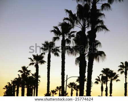 Tall California palm trees line the sunset sky.