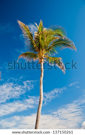 Tall coconut palm tree set against a blue sky with a few white clouds.  copy space available.