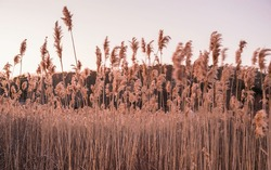 Tall Common Reed Stems Dancing in Wind