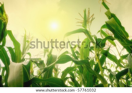 Tall corn field against summer sun