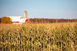 Tall crop of Wisconsin corn stalks with a red barn and silo in the background