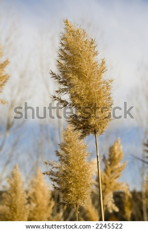 Tall dried plants at the side of a river in the winter at dusk