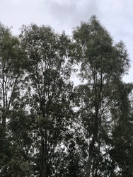 Tall eucalyptus trees in the countryside