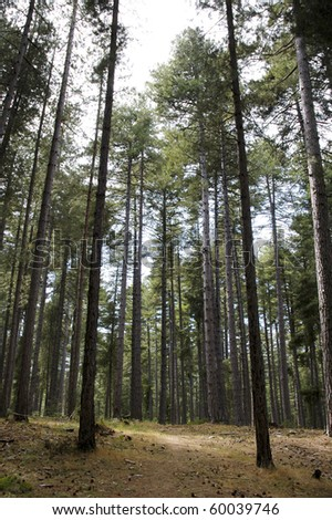 tall forest pine trees