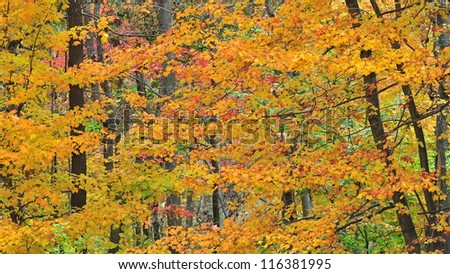 Tall forest trees in beautiful autumn color.