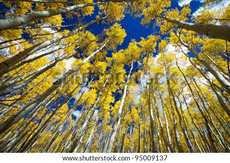 Tall golden aspen trees surround the viewer in a thick forest in Colorado.