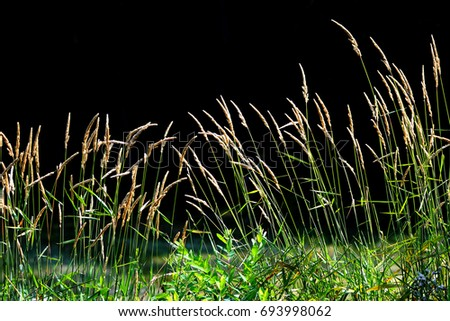 Tall grass in the meadow against black background #693998062