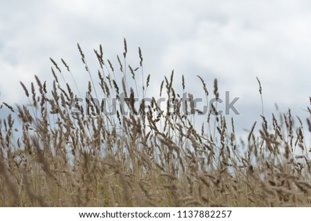 Tall Grass Meadow, blur #1137882257
