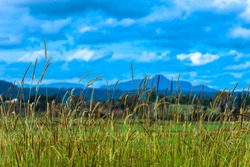 Tall grass near Tabulam NSW Australia. Shot from the western side of the Bruxner Highway.