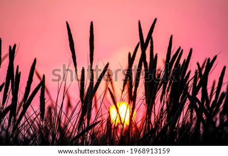 Tall grass on the background of the sunset. Grass silhouettes on sunset sky. Sunset meadow scene