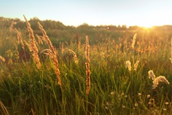 Tall grass sweeps in field, warm sunset, natural background